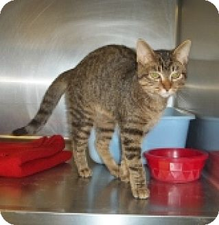 Domestic Shorthair Cat for adoption in Silver City, New Mexico - Cynna