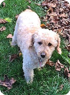 Poodle (Miniature)/Dachshund Mix Dog for adoption in Toronto, Ontario - Willis