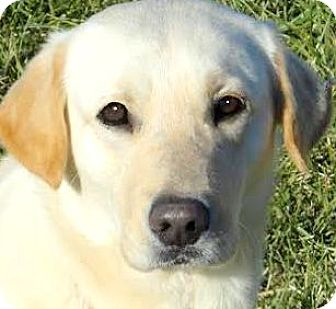 Labrador Retriever Dog for adoption in Wakefield, Rhode Island - CHEERS(TRAINED-SO SMART! WOW!