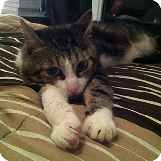 Domestic Shorthair Cat for adoption in Toronto, Ontario - Marlon