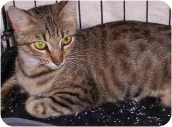 Domestic Shorthair Cat for adoption in Chiefland, Florida - Furby