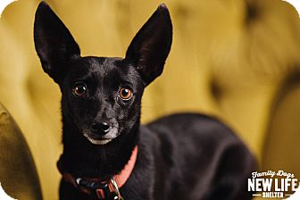 Schipperke/Chihuahua Mix Dog for adoption in Portland, Oregon - Camille