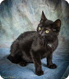 Domestic Shorthair Kitten for adoption in Anna, Illinois - MEKO