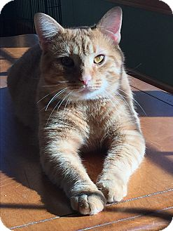 Domestic Shorthair Cat for adoption in Akron, Ohio - Riley