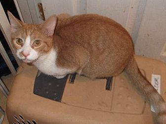 Domestic Shorthair Cat for adoption in Livonia, Michigan - Mango