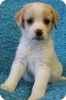 Beagle/Labrador Retriever Mix Puppy for adoption in Southington, Connecticut - Wally