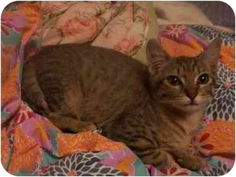 Domestic Shorthair Cat for adoption in LosAngeles, California - September
