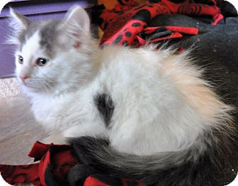 Domestic Mediumhair Kitten for adoption in Farmington Hills, Michigan - Everest