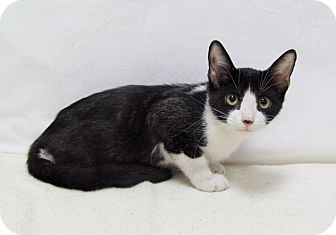 Domestic Shorthair Kitten for adoption in Lufkin, Texas - Tippy