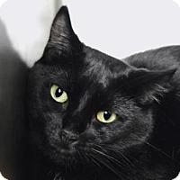 Domestic Shorthair Cat for adoption in New York, New York - Savoy