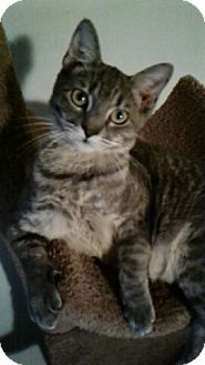 Domestic Shorthair Kitten for adoption in New York, New York - Grey