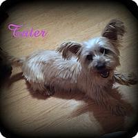 Adopt A Pet :: Tater - Denver, NC