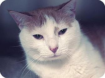 Domestic Shorthair Cat for adoption in New York, New York - Lucy