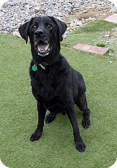 Labrador Retriever Dog for adoption in Midlothian, Virginia - Sequoia