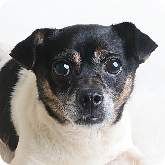 Mixed Breed (Small)/Jack Russell Terrier Mix Dog for adoption in Wilmington, Delaware - Zeppo