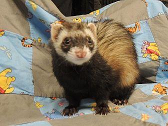 Ferret for adoption in Carlton, Oregon - Adelaide