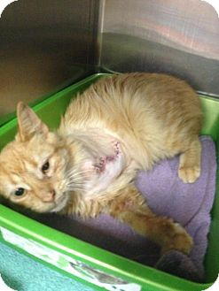 Domestic Mediumhair Cat for adoption in Trenton, New Jersey - Red (J)