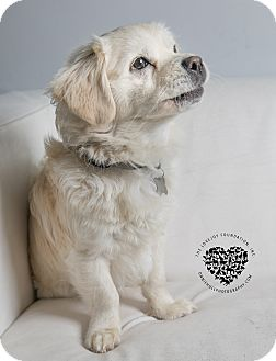 Cocker Spaniel/Corgi Mix Dog for adoption in Inglewood, California - Graydon