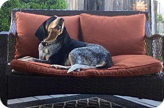 Coonhound/Hound (Unknown Type) Mix Dog for adoption in Ontario, Ontario - Blue