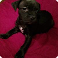 Adopt A Pet :: Bo - Savannah, GA