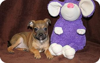 Chihuahua Mix Puppy for adoption in Newark, New Jersey - Sopapilla