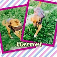 Adopt A Pet :: Harriet - Bakersfield, CA