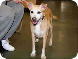 Labrador Retriever/Whippet Mix Dog for adoption in New York, New York - Lady