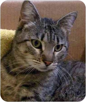 Domestic Shorthair Cat for adoption in Lake Arrowhead, California - Rosie