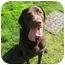 Photo 2 - Labrador Retriever Dog for adoption in Bellflower, California - Milo