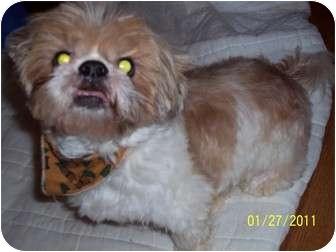 Shih Tzu Dog for adoption in Wapwallopen, Pennsylvania - Bailey
