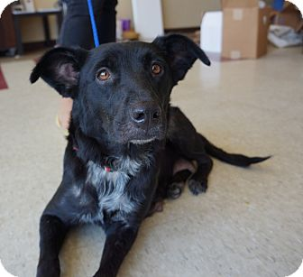 Border Collie/Terrier (Unknown Type, Medium) Mix Dog for adoption in Houston, Texas - Kendahl