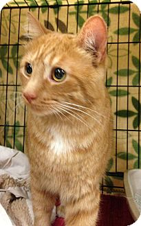 Domestic Shorthair Cat for adoption in West Dundee, Illinois - Jackson