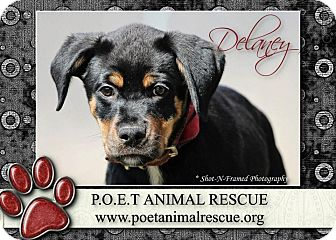Rottweiler Mix Puppy for adoption in Garden City, Michigan - Delaney