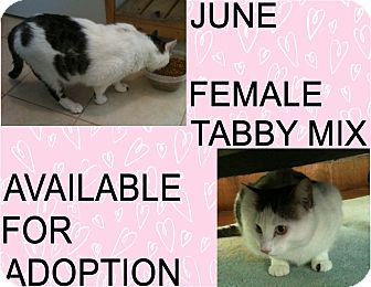 American Shorthair Cat for adoption in Hollywood, Florida - JUNE