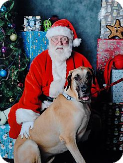 Great Dane Dog for adoption in Phoenix, Arizona - MERRY CHRISTMAS