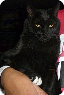 Domestic Shorthair Cat for adoption in Colorado Springs, Colorado - Morchen