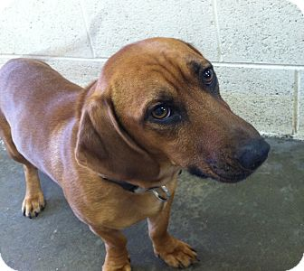 Dachshund/Beagle Mix Dog for adoption in Greensburg, Pennsylvania - Copper