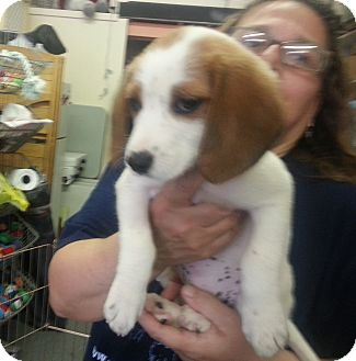 Beagle Mix Puppy for adoption in Philadelphia, Pennsylvania - Snuggles