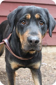 Rottweiler Mix Dog for adoption in Grass Valley, California - Charlie