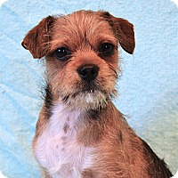 Adopt A Pet :: *Griffin - PENDING - Westport, CT