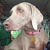Weimaraner Dog for adoption in Birmingham, Alabama - Dixie 2