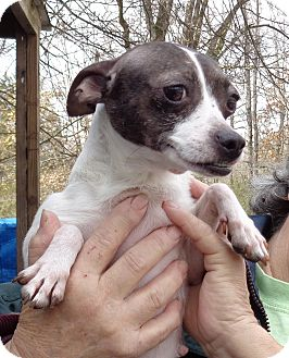 Rat Terrier Dog for adoption in Crump, Tennessee - maggie