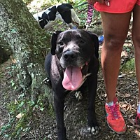 Mastiff/Labrador Retriever Mix Dog for adoption in Thomasville, North Carolina - Dianna - Visually Impaired
