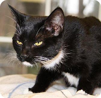 Domestic Shorthair Cat for adoption in Lovingston, Virginia - Nicho