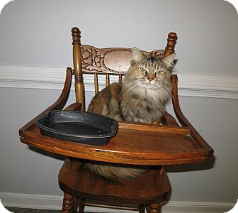 Maine Coon Cat for adoption in Richmond, Virginia - Maggie