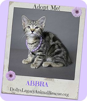 Domestic Shorthair Kitten for adoption in Lincoln, Nebraska - ABBRA