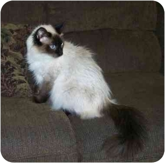 Himalayan Cat for adoption in Brighton, Michigan - Cleo