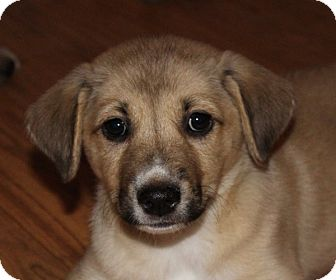 Shepherd (Unknown Type)/Retriever (Unknown Type) Mix Puppy for adoption in kennebunkport, Maine - Belle - PENDING - in Maine
