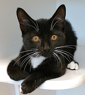 Manx Cat for adoption in League City, Texas - Margo - ADOPTED!
