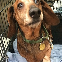 Dachshund Dog for adoption in Oak Ridge, New Jersey - Farley